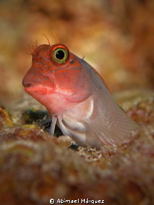 Redlip Blenny by Abimael M&#225;rquez 